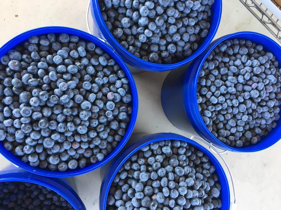 U-Pick Blueberries at Emery's Farm, New Egypt, NJ